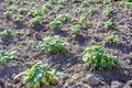 Young potato plants growing on the soil in rows Royalty Free Stock Photo