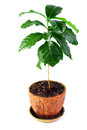 Young potted coffee arabica plant isolated Stock Photo