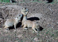 Young Prairie Dogs near their burrow. Royalty Free Stock Photo