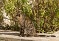 The young predator. Striped cat. Royalty Free Stock Photo