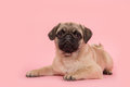Young pug dog lying on the floor looking at the camera on a pink background Royalty Free Stock Photo