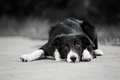 Young puppy border collie lying park summer Stock Image