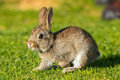Young puppy Jack rabbit hare wild bunny Royalty Free Stock Photo