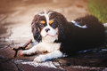 Young purebred tricolor cavalier king charles spaniel lying with stick on stone pathway month Stock Photography
