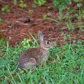 Young rabbit cottontail near the grass and pine needles early in the morning Stock Photos