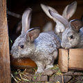 Young rabbits popping out of a hutch Royalty Free Stock Photo