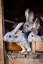 Young rabbits popping out of a hutch Royalty Free Stock Image