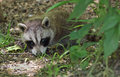Young raccoon procyon lotor baby laying on the ground Stock Photography
