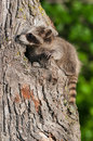 Young raccoon procyon lotor clings to tree captive animal Stock Photos