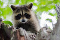 Young Raccoon in Tree Royalty Free Stock Photo