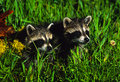 Young Raccoons Stock Images