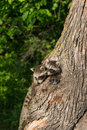 Young Raccoons (Procyon lotor) Poke Heads out of Tree Royalty Free Stock Photo