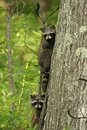 Young Raccoons in a Tree Stock Photo