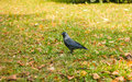 Young raven walking on the street Royalty Free Stock Photo