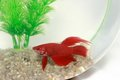 Young Red Chinese Fighting Fish Stock Photo