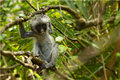 Young red colobus monkey in Jozani forest national park, Royalty Free Stock Photo