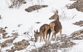 While a young red deer cervus elaphus tries to find some food in the snow it s mother stays protective and alert Stock Images