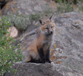 Young Red Fox Close Up Stock Photo