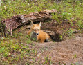 Young Red Fox in Den Stock Image