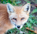 Young red fox looking at camera close up of a the Royalty Free Stock Photography