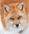 Young red fox looking up at the camera close of a in snow Royalty Free Stock Image