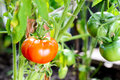 Red tomatoes on a branch in greenhouse Royalty Free Stock Photo