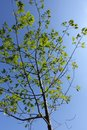 Young red oak with fresh leafage Royalty Free Stock Photo