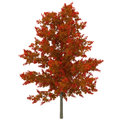 Young Red Oak Tree Autumn on white. 3D illustration