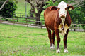 Young red and white Australian Hereford heifer cow in paddock Royalty Free Stock Photo