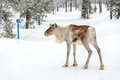 Young reindeer in the forest in winter, Lapland Finland Royalty Free Stock Photo
