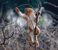 Young Rhesus macaque Royalty Free Stock Image