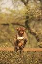 Young rhesus macaque eating banana new delhi india Royalty Free Stock Image