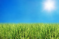 young rice field with blue sky and sunshine Royalty Free Stock Photo