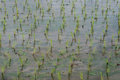 Young rice grow in rice field view of sprout ready to growing the Stock Photography