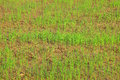 Young rice sprout ready to growing in field Royalty Free Stock Photography