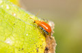 Young rice thrips pumpkin pest close up of Stock Images