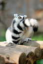 Young ring-tailed lemur Stock Photo