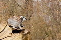 Young ring tailed lemur on the back of it s mother Royalty Free Stock Photography