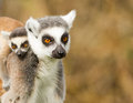 Young ring tailed lemur on the back of it s mother Stock Photo