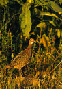 Young Ringnecked Pheasant Stock Image