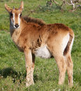 Young Roan Antelope Royalty Free Stock Images