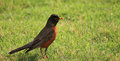 Young robin morn on the grass with blur background Royalty Free Stock Images