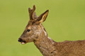Young roe buck Stock Image