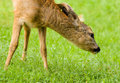 Young Roe deer Royalty Free Stock Photos