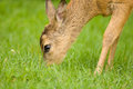 Young Roe deer Stock Photos