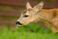 Young Roe deer Royalty Free Stock Photo