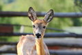 Young roe deer doe Royalty Free Stock Images