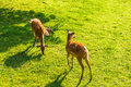 Young roe deers on the meadow, top view. Zoo, wild animals and mammal concept Royalty Free Stock Photo