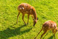 Young roe deers on the meadow. Zoo, wild animals and mammal concept Royalty Free Stock Photo