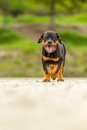 Young rottweiler pup walking with great confidence shot from low angle shallow depth of field Royalty Free Stock Images